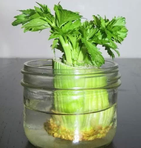 Re-Growing Celery