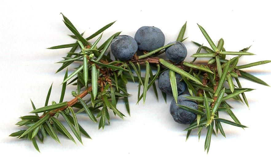 Look Under The Snow For Versatile Juniper Berries First We Eat