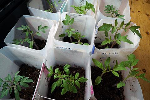Gardeners, Start Your Seedlings