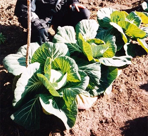 Giant Cabbages in Old Crow, Yukon